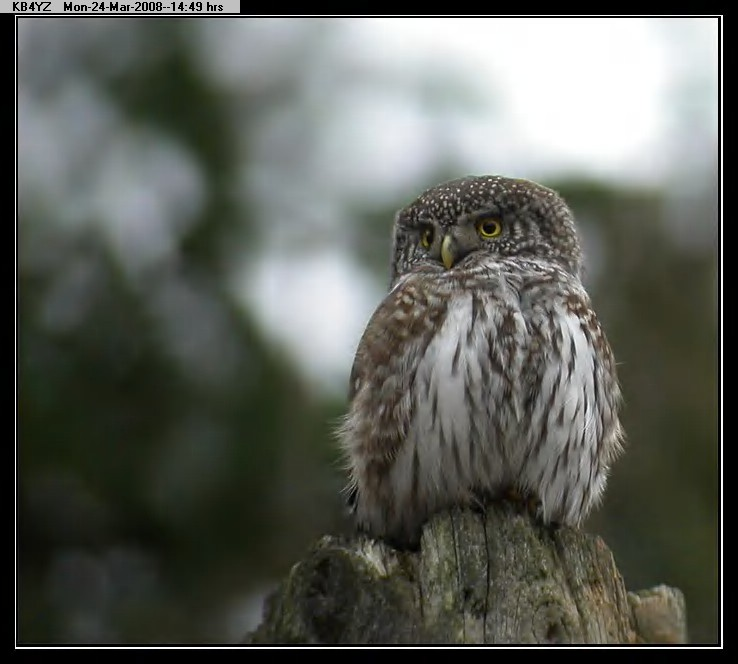 080324144744-Eurasian Pygmy-Owl.jpg