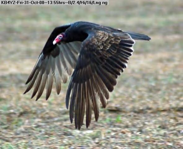 081031135352-Turkey Vulture 2.jpg