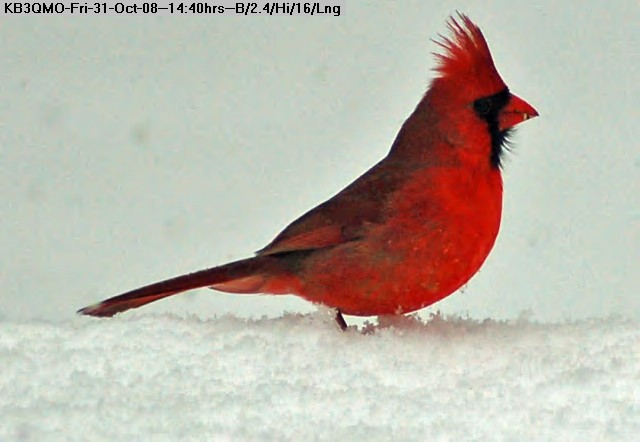 081031143944-Cardinal in Snow.jpg