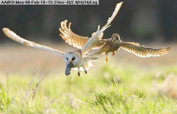 100208142845-kestrel-owl-1_1570320i.jpg