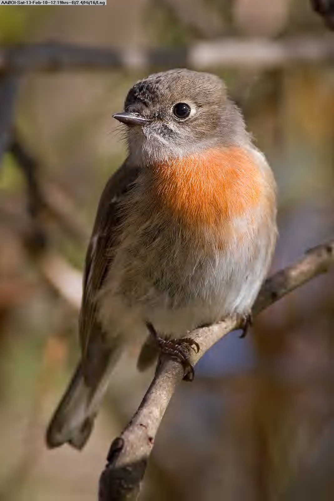 100213111609-Female_scarlet_robin.jpg