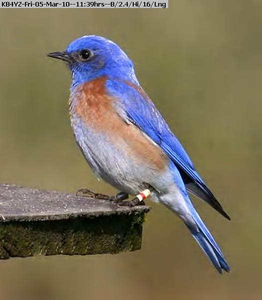 100305113659-blue bird.jpg