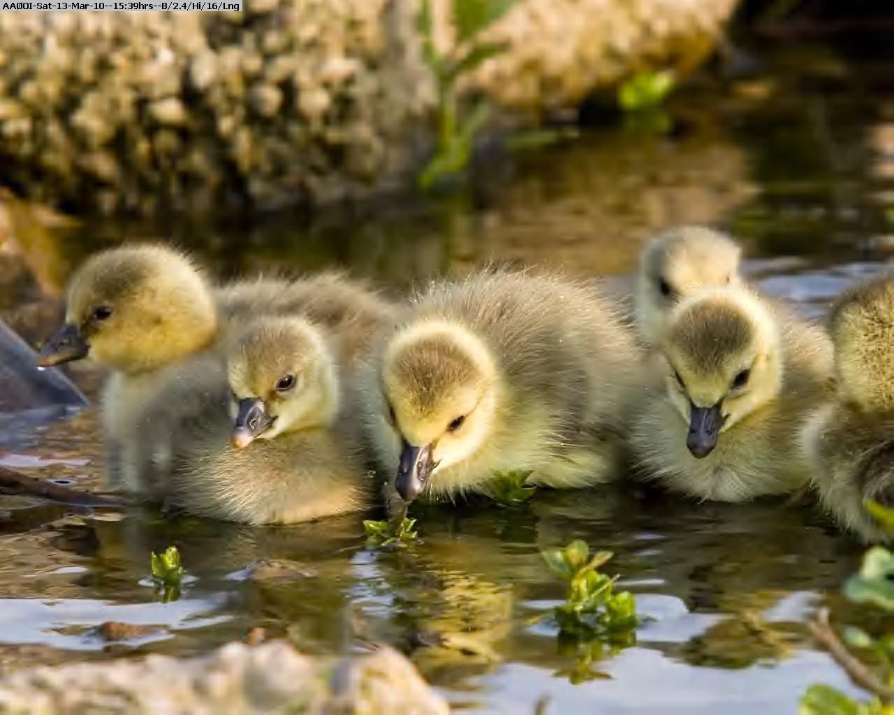 100313143557-Goslings-in-Sunshine.jpg
