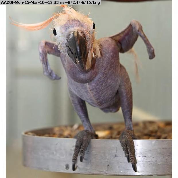 100315133334-bald-parrot-2_1539912i.jpg