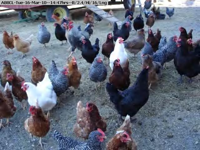 100316154539-chickens.jpg