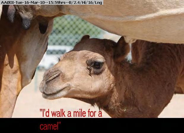 100316155713-camel_1542112i.jpg