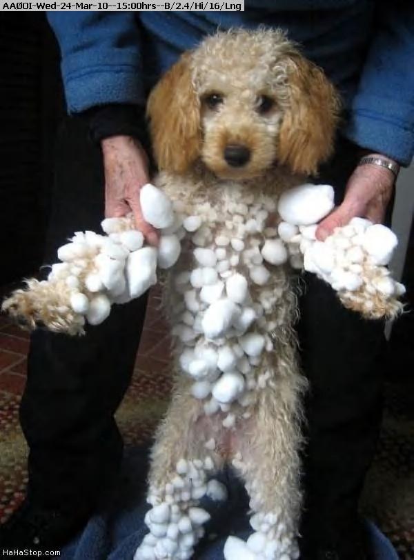100324145809-Snowball_Dog872.jpg