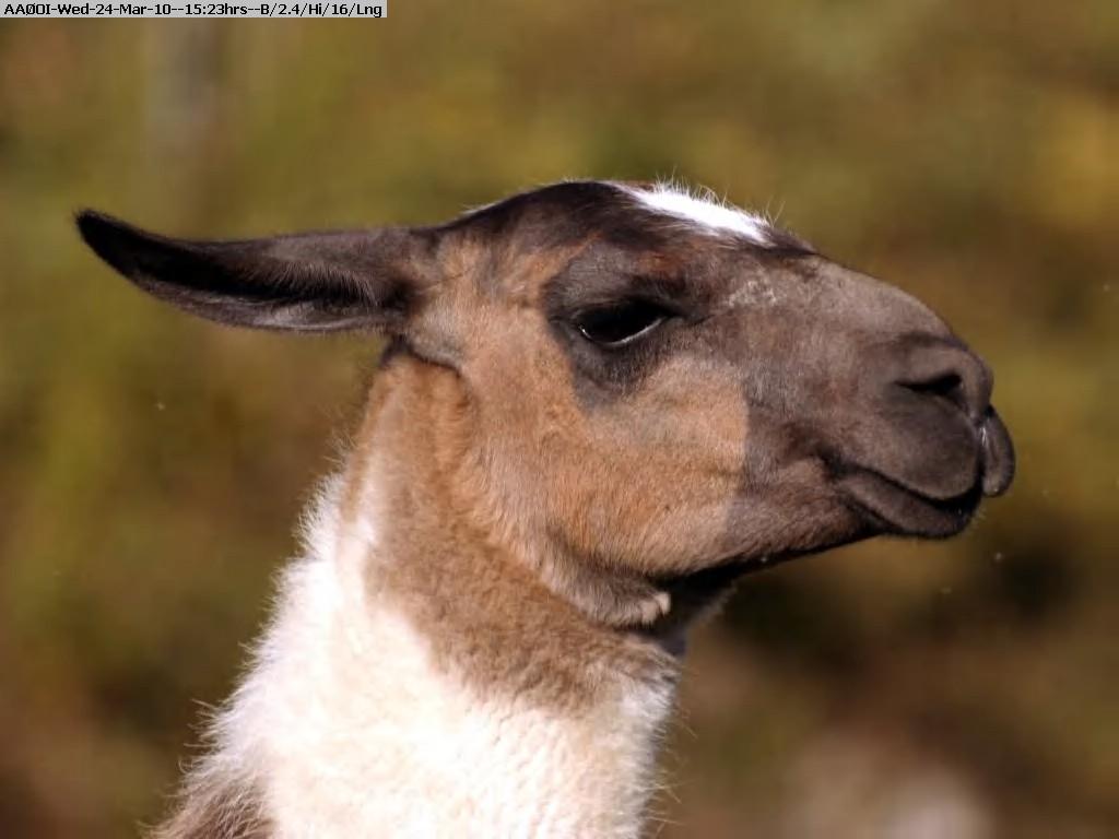 100324152114-vitalyf-llama.jpg