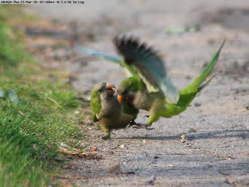 100325071444-parrot.jpg