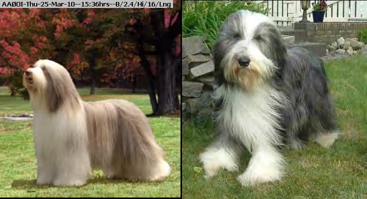 100325153426-bearded_collie.jpg