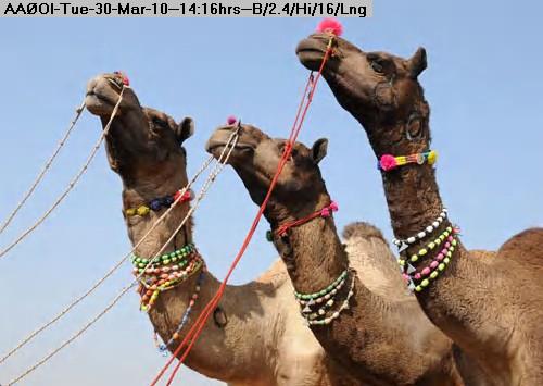100330141413-3-camels.jpg